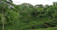 মৌলভীবাজারে চলতি মৌসুমে বৃষ্টিপাত কম চা শিল্পে বিপর্যয়ের আশঙ্কা